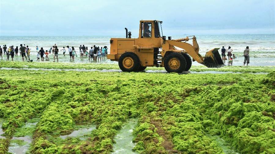 Les rives de Qingdao envahies par des algues vertes