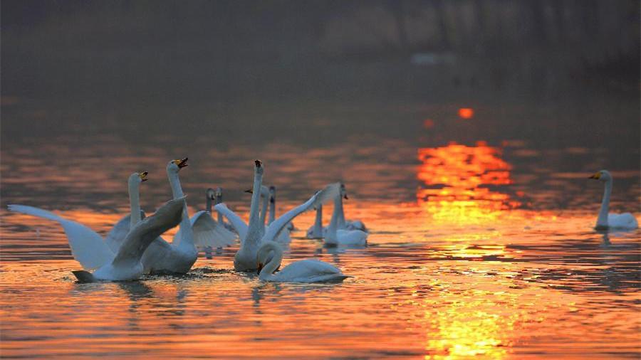 Les oiseaux sauvages profitent de la vie dans la réserve naturelle de Pinglu, dans le Shaanxi