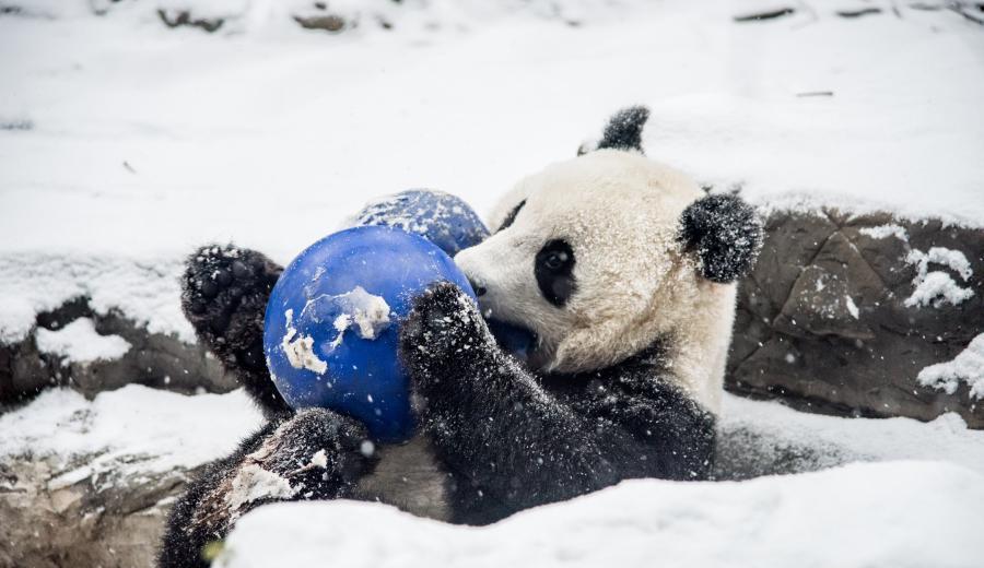 Les pandas goûtent aux joies de la neige au Zoo de Beijing
