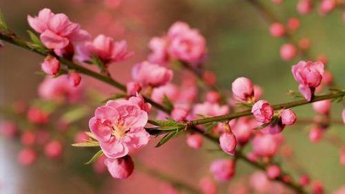 Dix destinations pour admirer les fleurs printanières au Shandong