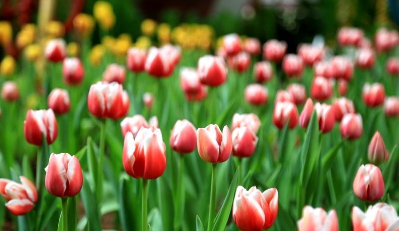 Fujian : des millions de tulipes fleurissent à Zhangzhou