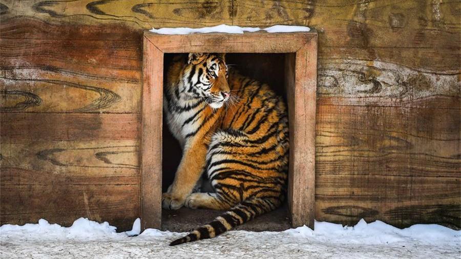 Comment les animaux passent l'hiver au Parc des tigres de Sibérie de Changchun