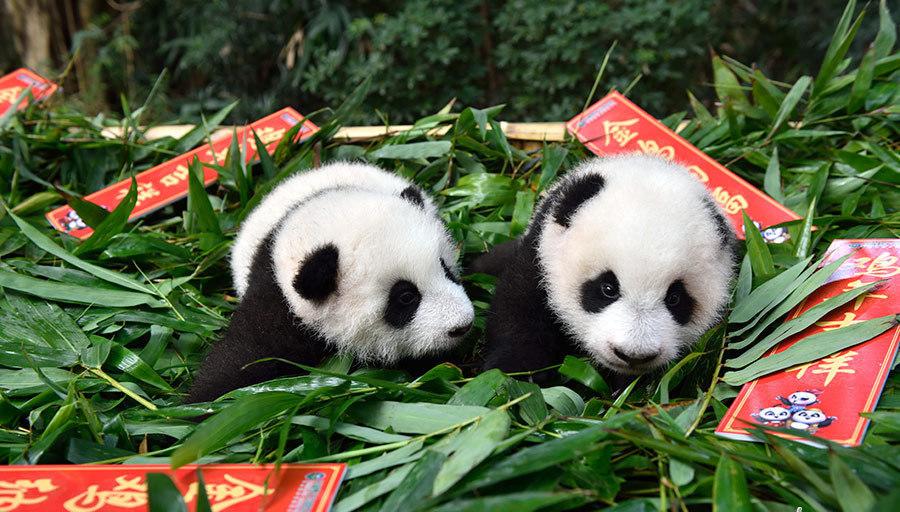 Chine : les pandas géants s'amusent dans l'ambiance festive de la Fête du Printemps