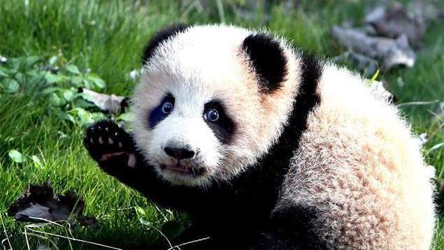 Shanghai : deux pandas géants sont morts de maladie