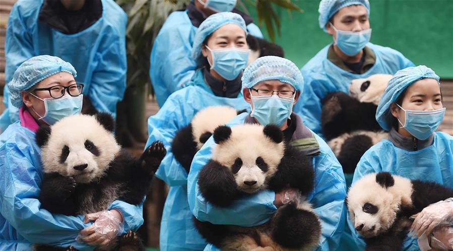 23 bébés pandas envoient leurs vœux de Nouvel An à Chengdu