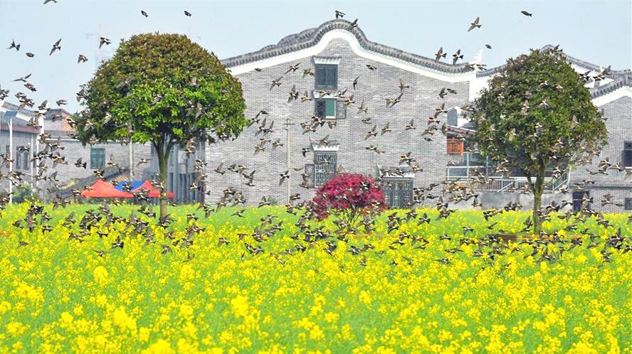 Le merveilleux spectacle des oiseaux dans les champs de colza
