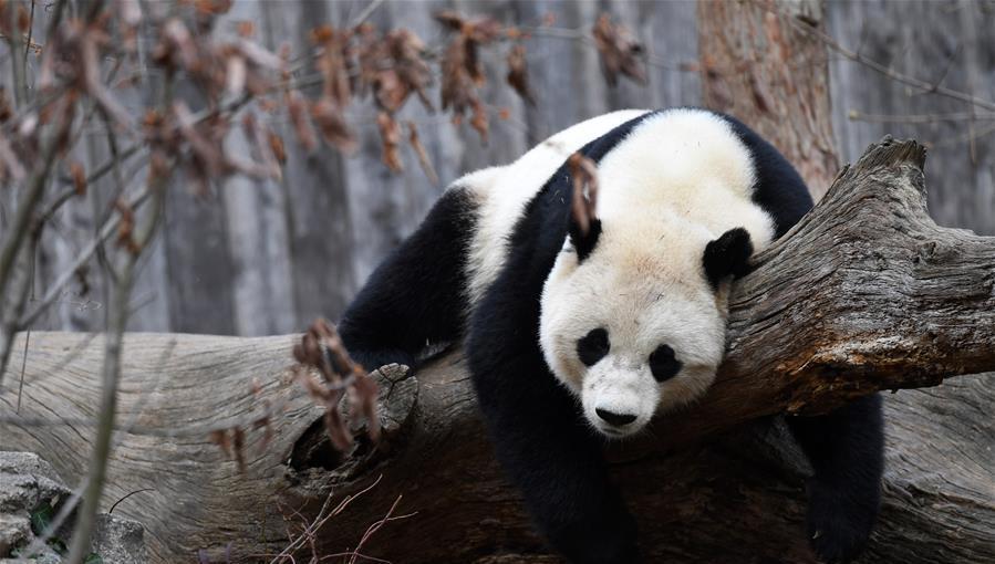 Le panda géant Baobao rentre en Chine