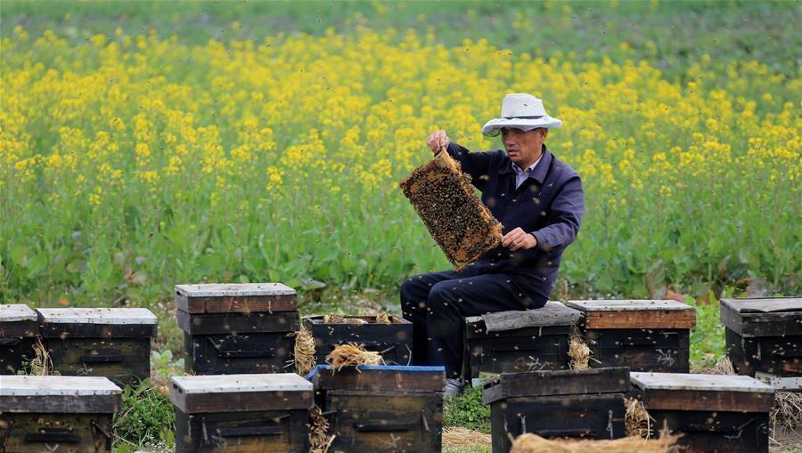 Anhui : début de la récolte du miel sur les fleurs de colza au pied du mont Huangshan
