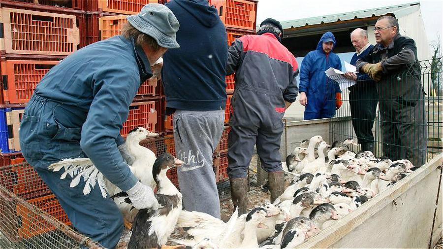Les canards du département des Landes vont être abattus