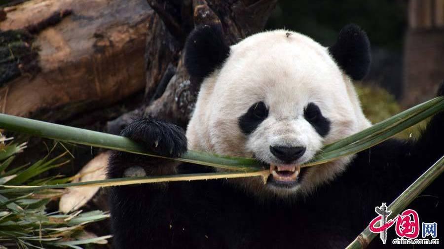 Premier jour en Chine pour le panda géant Baobao