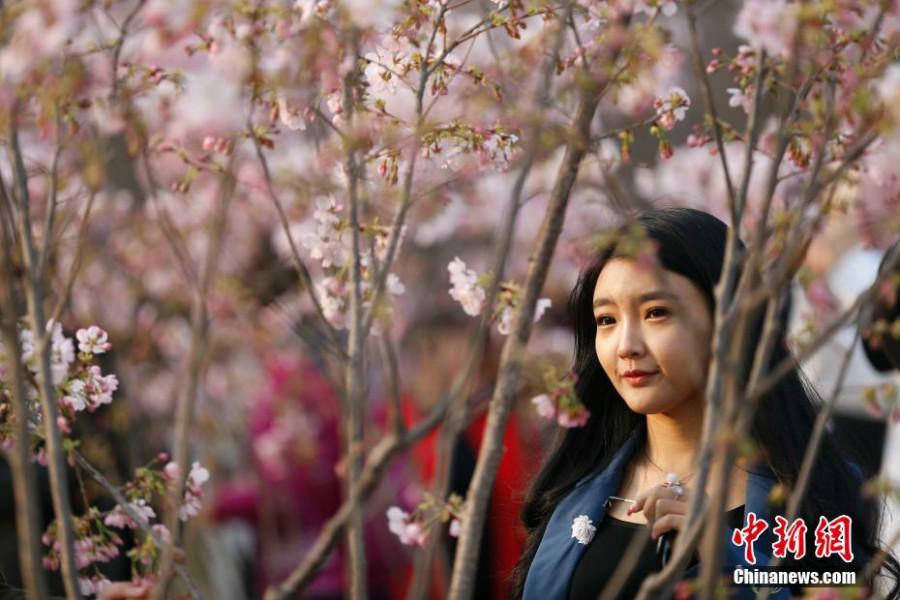Beijing : les cerisiers du parc Yuyuantan en fleurs