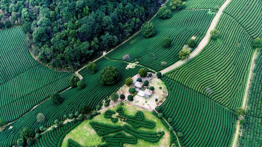 Zhejiang : la récolte printanière du thé de Longjing vue du ciel
