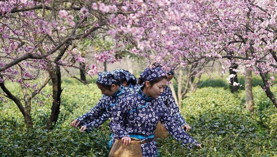Nanjing : la récolte du thé au mont Zhongshan