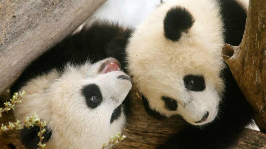 Deux petits pandas du zoo de Vienne présentés au public