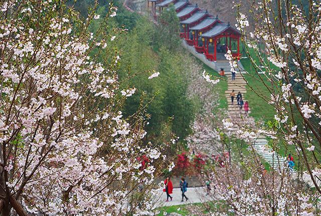 La vallée des fleurs de cerisiers