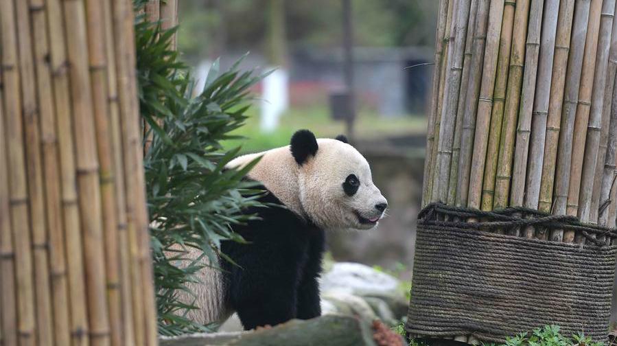 Le panda géant Bao Bao a fini son mois de quarantaine au Sichuan