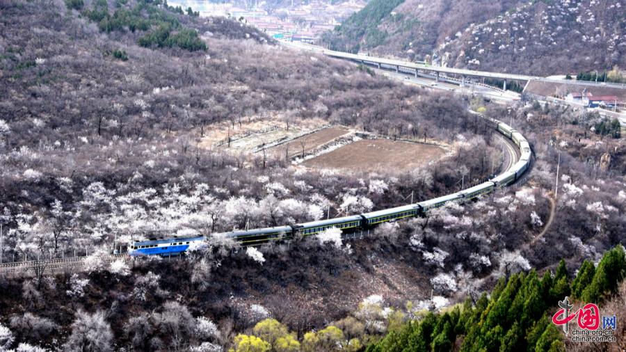 Photos : un train passe au milieu des pêchers en fleur