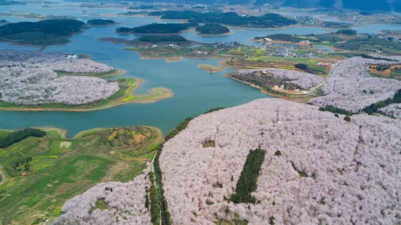 Guizhou : une mer de cerisiers vue du ciel