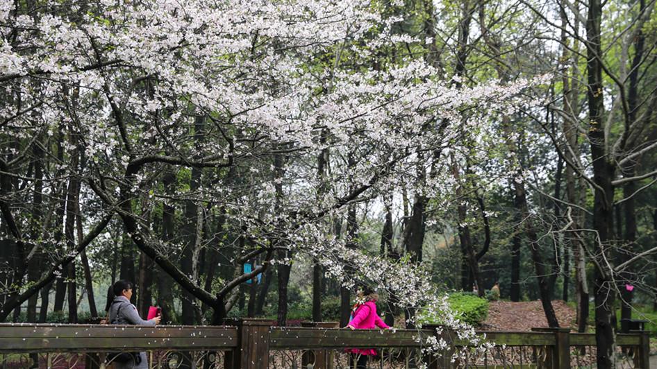 Des sakura tels des nuages roses au soleil couchant