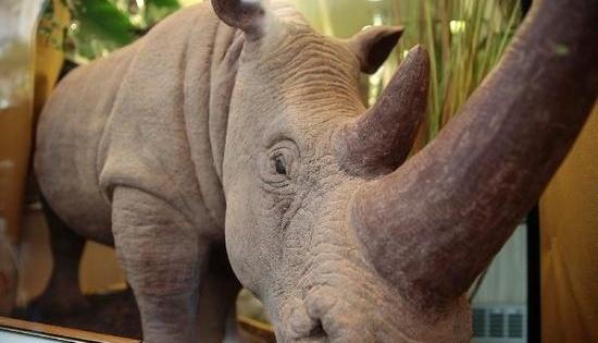 France : voici un rhinocéros réalisé en chocolat