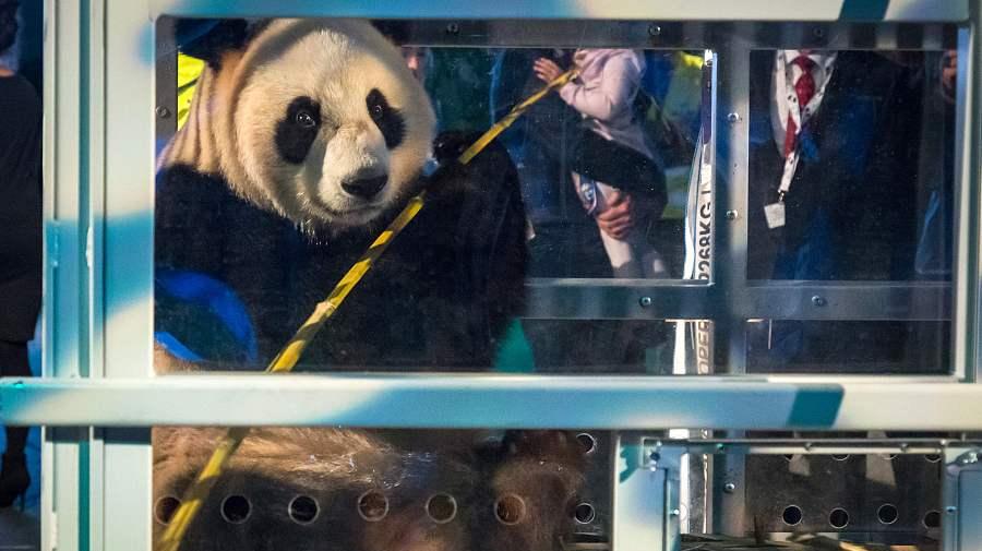 Les petits pandas Xing Ya et Wu Wen chaleureusement accueillis aux Pays-Bas