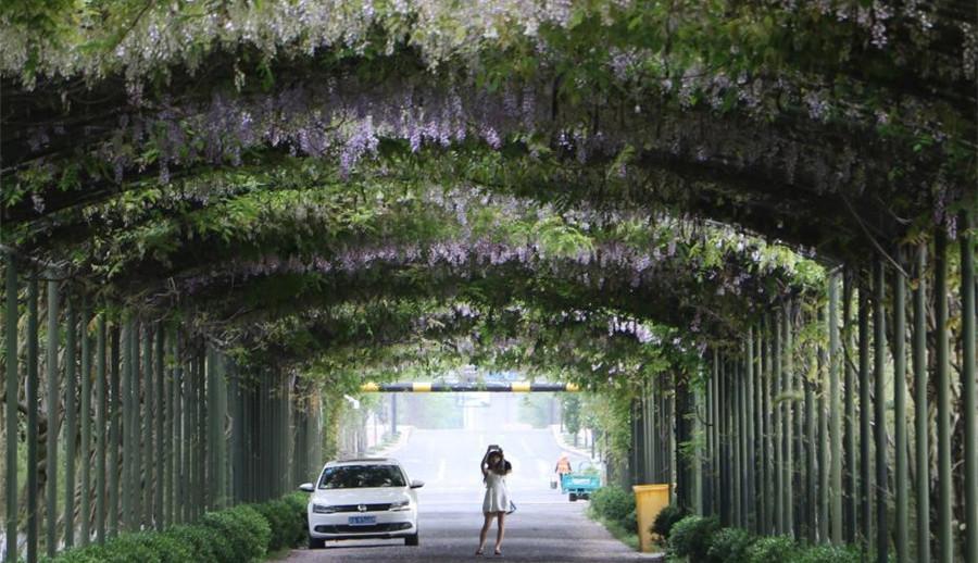 Hangzhou : une avenue enveloppée par des fleurs de glycine (Wisteria)