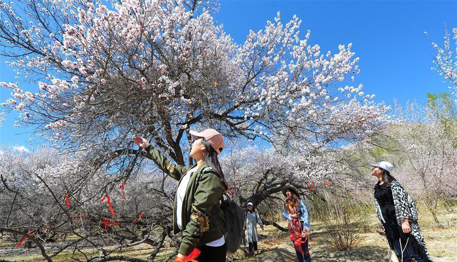 Xinjiang : des abricotiers sauvages en pleine floraison à Hami