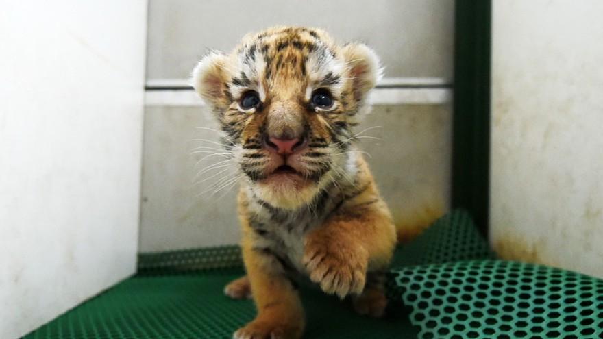 Heilongjiang : naissance d'une cinquantaine de tigres sibériens
