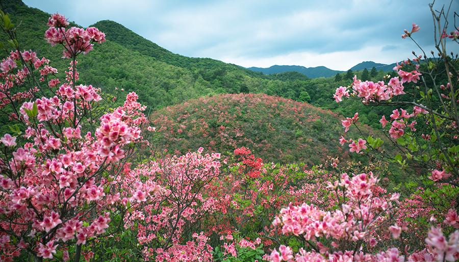 Zhejiang : les collines rougies par les azalées