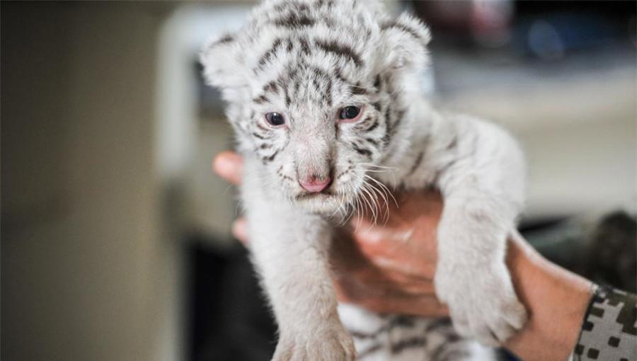 Le zoo des animaux sauvages du Yunnan accueille deux bébés tigre blanc