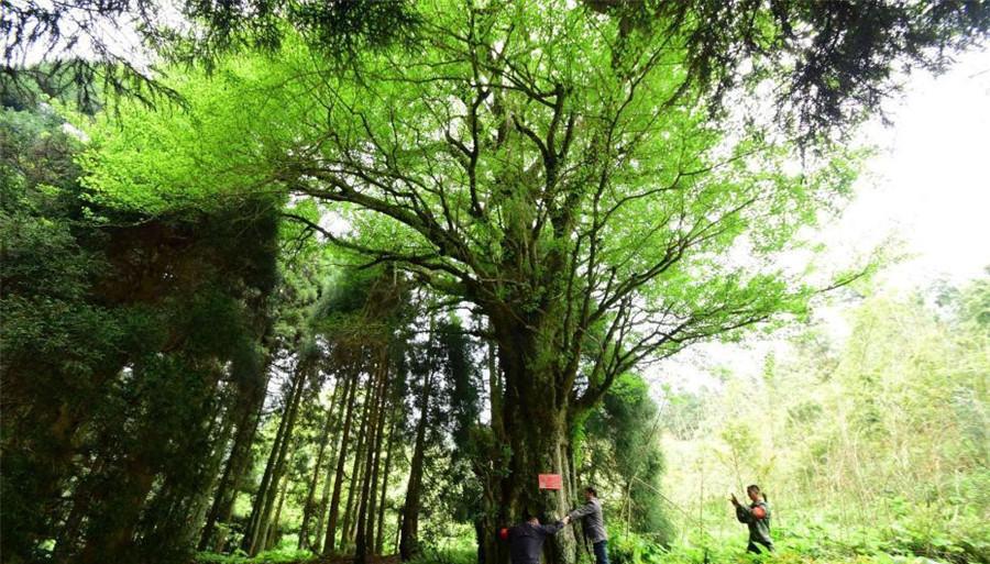 Un « couple » de ginkgos millénaires découvert au Hunan