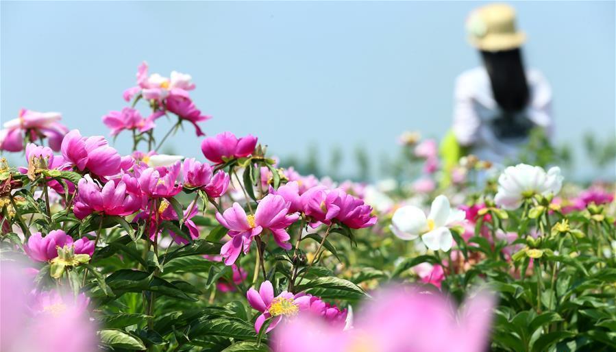 Shandong : les paysans de Jimo gagnent leur vie avec les pivoines herbacées