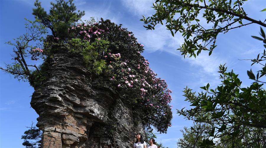 Galerie : le mont Xianglu embelli par des azalées en pleine floraison