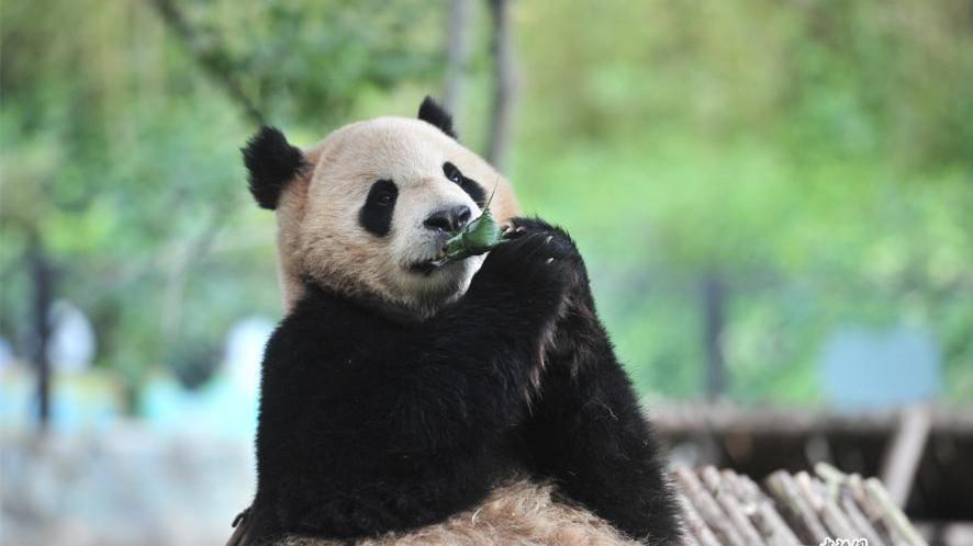Pour la fête des Bateaux-Dragons, les animaux des zoos ont aussi dégusté des zongzi