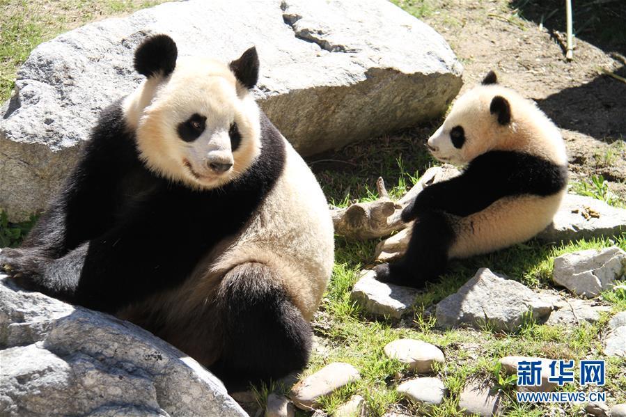 les pandas ambassadeurs d amiti de la chine en europe. Black Bedroom Furniture Sets. Home Design Ideas