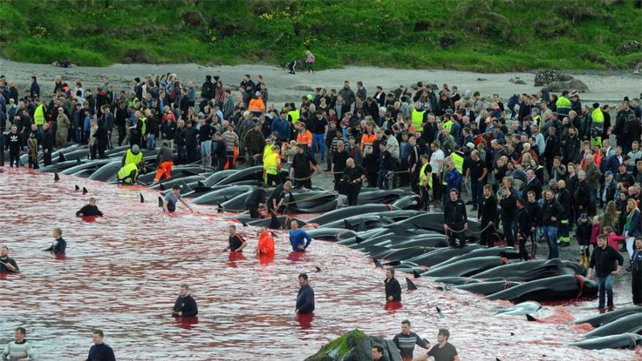 Îles Féroé : des baleines massacrées dans les fjords