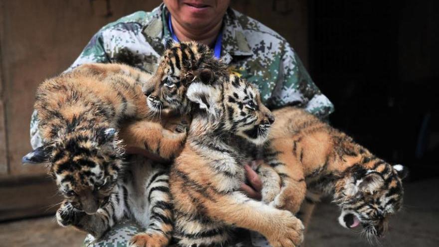 Quatre bébés tigres sibériens rencontrent les visiteurs