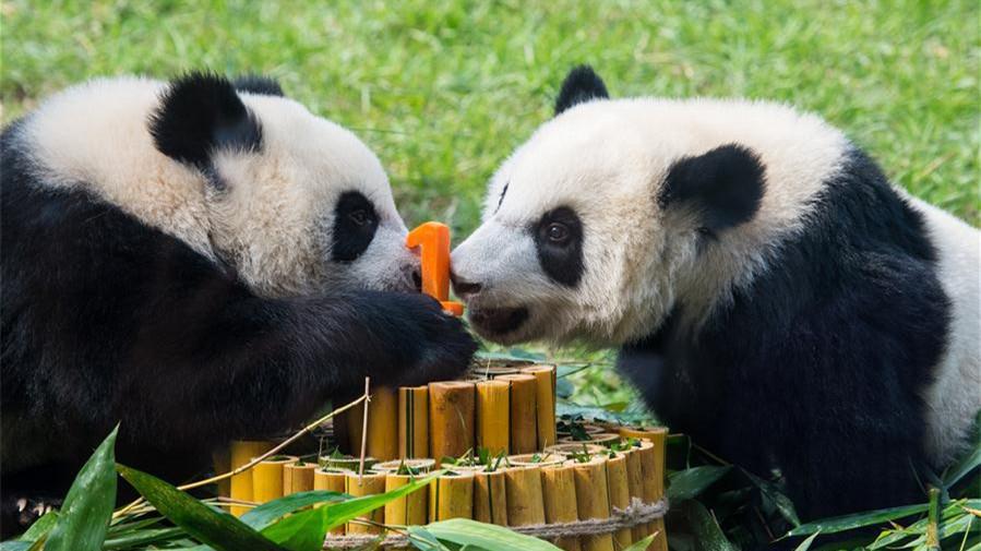 Les petits pandas jumeaux de Macao célèbrent leur premier anniversaire