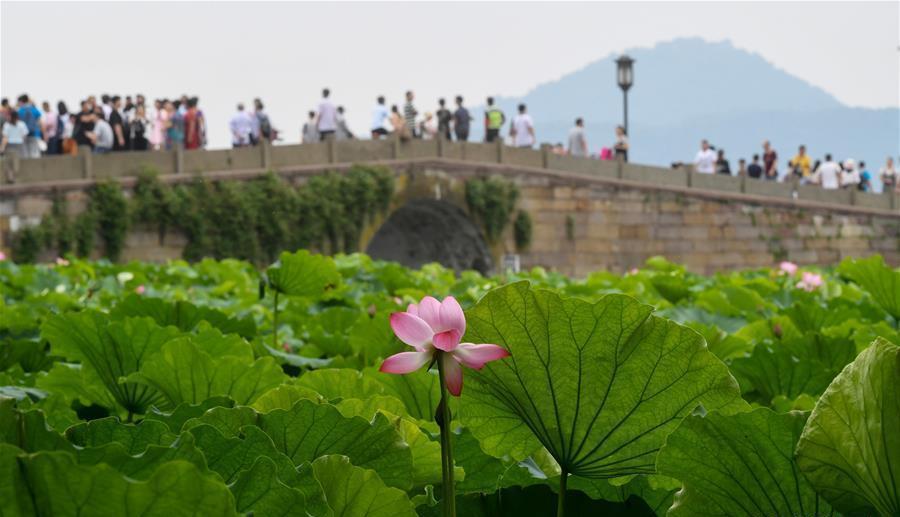 Hangzhou : les fleurs de lotus en pleine floraison sur le lac de l'Ouest