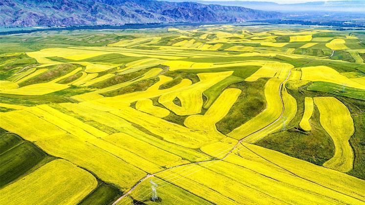 Que c'est beau ! Des hectares de colza en pleine floraison au Xinjiang