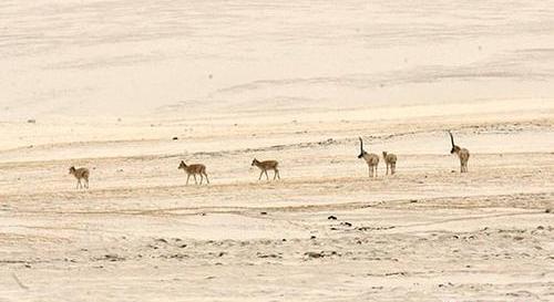 Qinghai : le parc de Kekexili inscrit sur la liste du patrimoine mondial