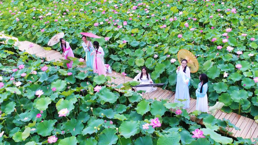 Les lotus en pleine floraison à Anji