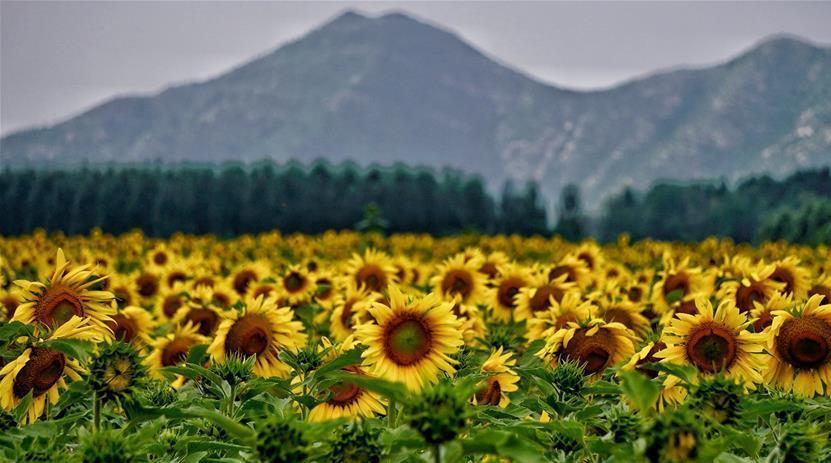 Des fleurs de tournesol en pleine floraison à perte de vue à Beijing