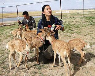 Zu der jährlichen Wanderzeit müssen die Tibetischen Antilopen die Qinghai-Tibet-Autobahn und -Eisenbahn überqueren, damit sie an bestimmten Orten Babys gebären. Die Freiwilligen haben dabei viel geholfen.