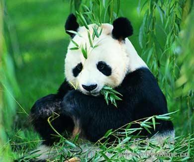 natur und umwelt wie berleben pandas nur mit bambus. Black Bedroom Furniture Sets. Home Design Ideas