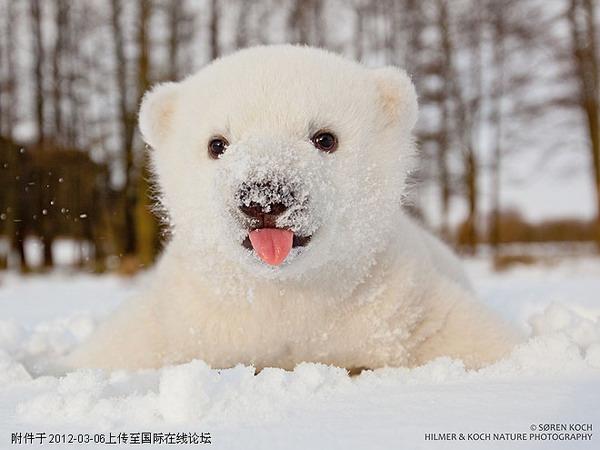 Bilder Germanchinaorgcn Süßes Dänisches Eisbär Baby Wird