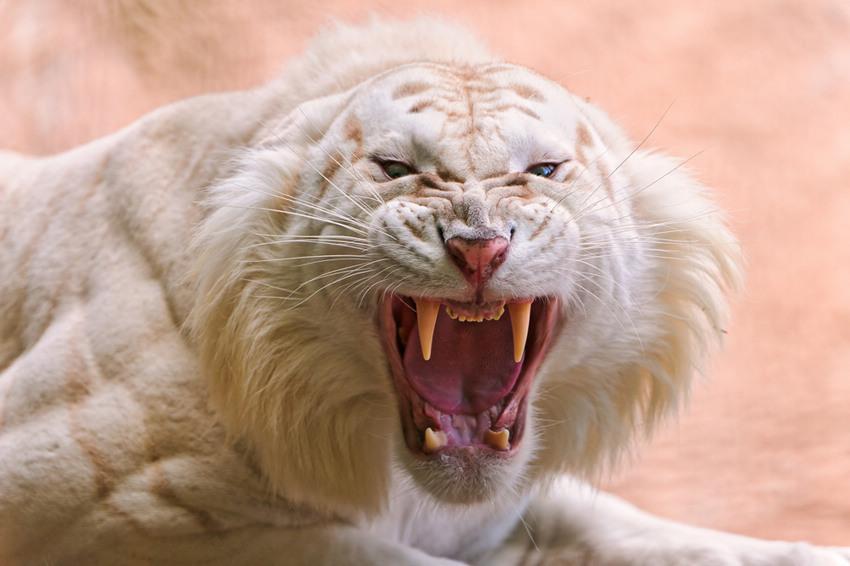 Bilder Germanchinaorgcn Der Weiße Tiger Eine Sehr Seltene