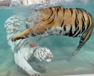 Der weiße Tiger, eine Unterart des Königtigers, ist bei Menschen sehr beliebt. Jedoch wissen die meisten Menschen nicht, wie selten das helle Raubtier eigentlich ist.