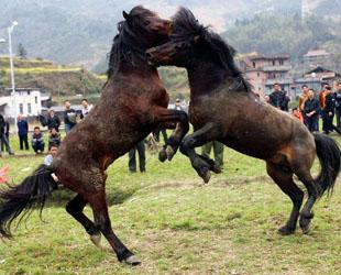 Zwei Hengste kämpfen während eines traditionellen chinesischen Neujahrs-Pferdekampfwettbewerbs anlässlich des Jahres des Pferdes im Dorf Tiantou der Miao-Nationalität im Landkreis Rongshui gegeneinander.