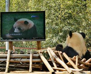 Nachdem sein Partner Meixi nach Sichuan zurückgeschickt wurde, hatte Sijia schlechte Laune und reagierte ungewöhnlich. Der Park hat verschiedene Maßnahmen ergriffen, wie unter anderem die Installation eines TV-Gerätes, neue Spielzeuge und sogar einen lebensgroßen Kuschelpanda, um Sijia aufzumuntern.